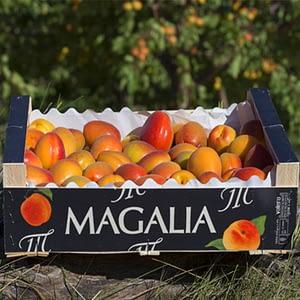 Albaricoque AA, Magalia Maella